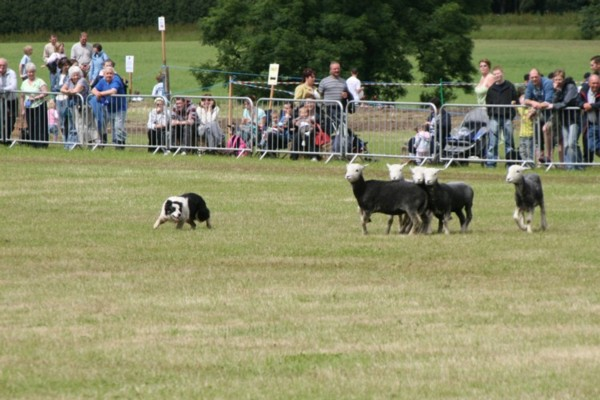 Dog Controlling Direction of Sheep