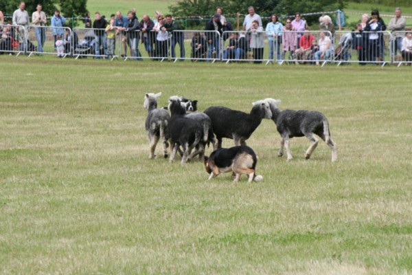 Dogs Controlling Direction of Sheep