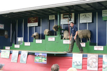 Front of the show vehicle,Sheep are introduced one at a time