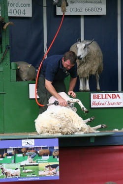 Demonstrating Sheep Shearing