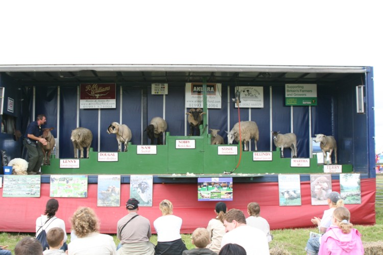 All the Breeds of Sheep on Show