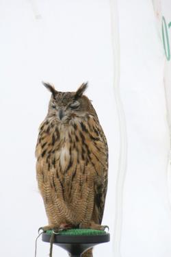Horn Eared Owl