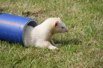 Albino Ferret at end of Racing Tunnel