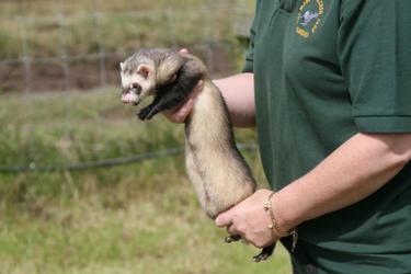 Ferret being handled