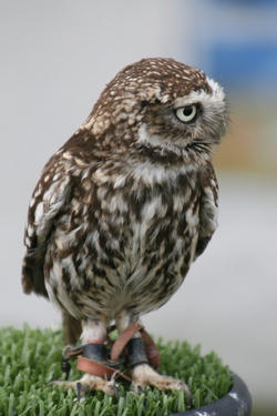 Small Owl
