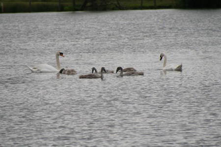 Swans with Cygnets feeding on a lake