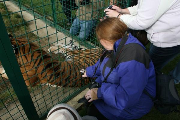 Carol stroking a Tiger