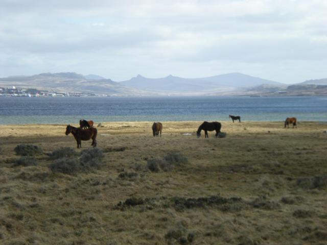 Falkland Horses.