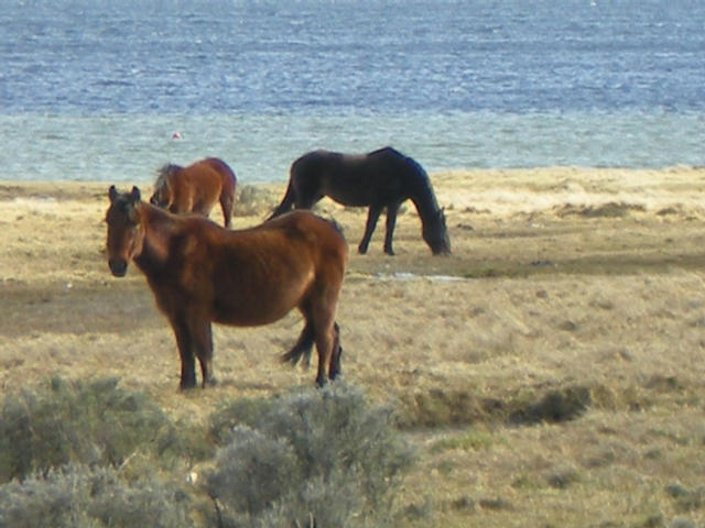 Falkland Horses