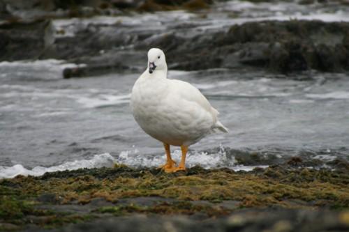 Greater Kelp Goose(Male)
