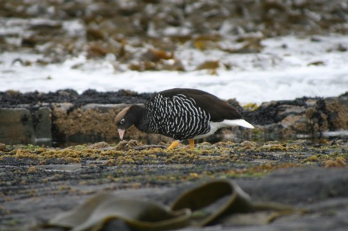 Greater Kelp Goose(Female)