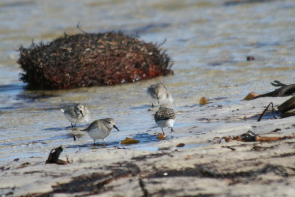 Sanderlings feeding