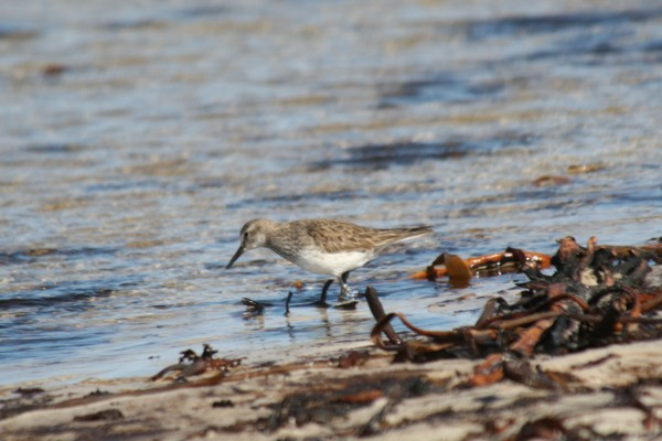Sanderling feeding