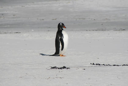 Northern Gentoo on the beach