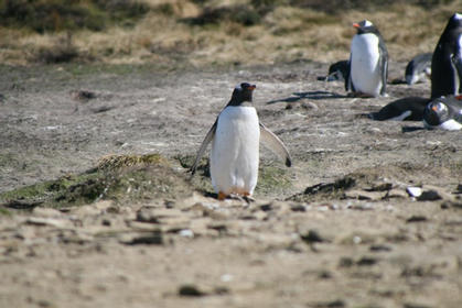 Northern Gentoo in the Colony