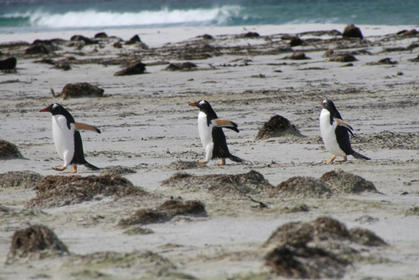 Northern Gentoos moving along the beach
