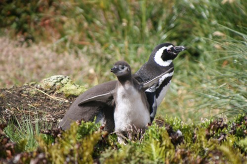 Magellanic Penguin with chicks