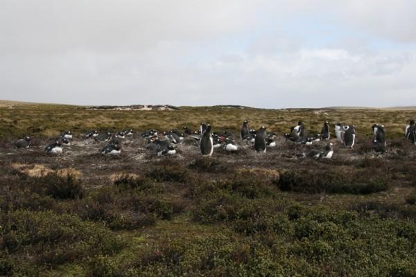 Gentoo Penguin Colony