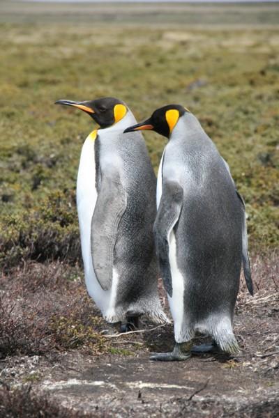 Pair of King Penguins