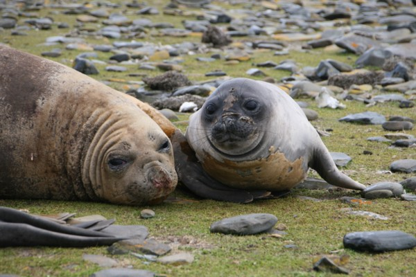Elephant Seal Cow with Pup