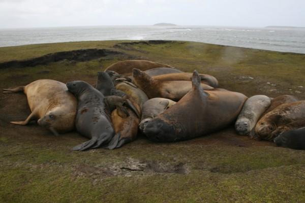 Elephant Seal Pod