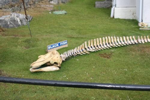 Black Fish skeleton