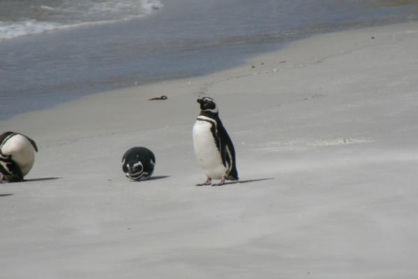 Magellanic Penguins on beach