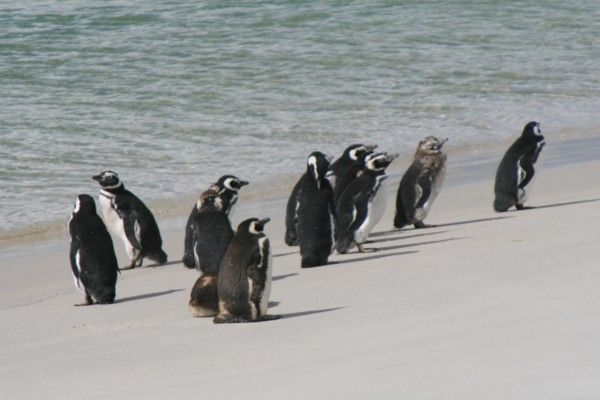 Magellanic Penguins on beach with young