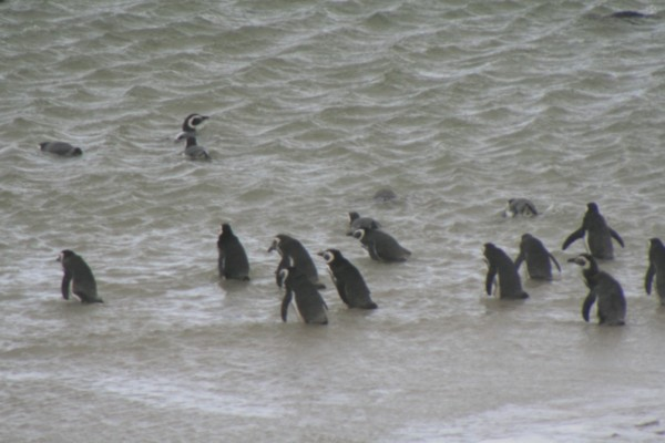 Magellanic Penguins in the water