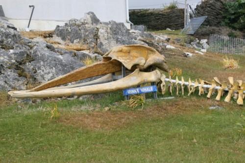 Minke Whale head bones