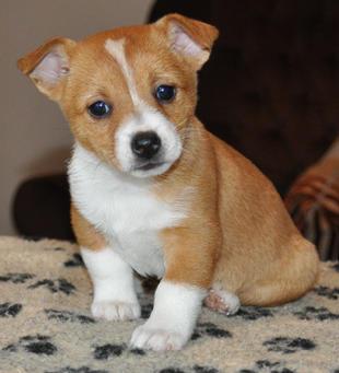 Portuguese Pequeno Dog For Sale
