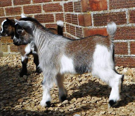 Pedigree goats