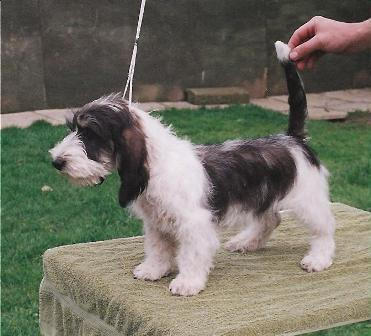 Petits bassets griffons vendeens litters and puppies - Petit basset griffon vendeen breeders toulon ...