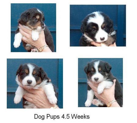 Dog pups 4.5 weeks
