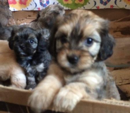 Deposit on Cavalier or Cavanese Puppy